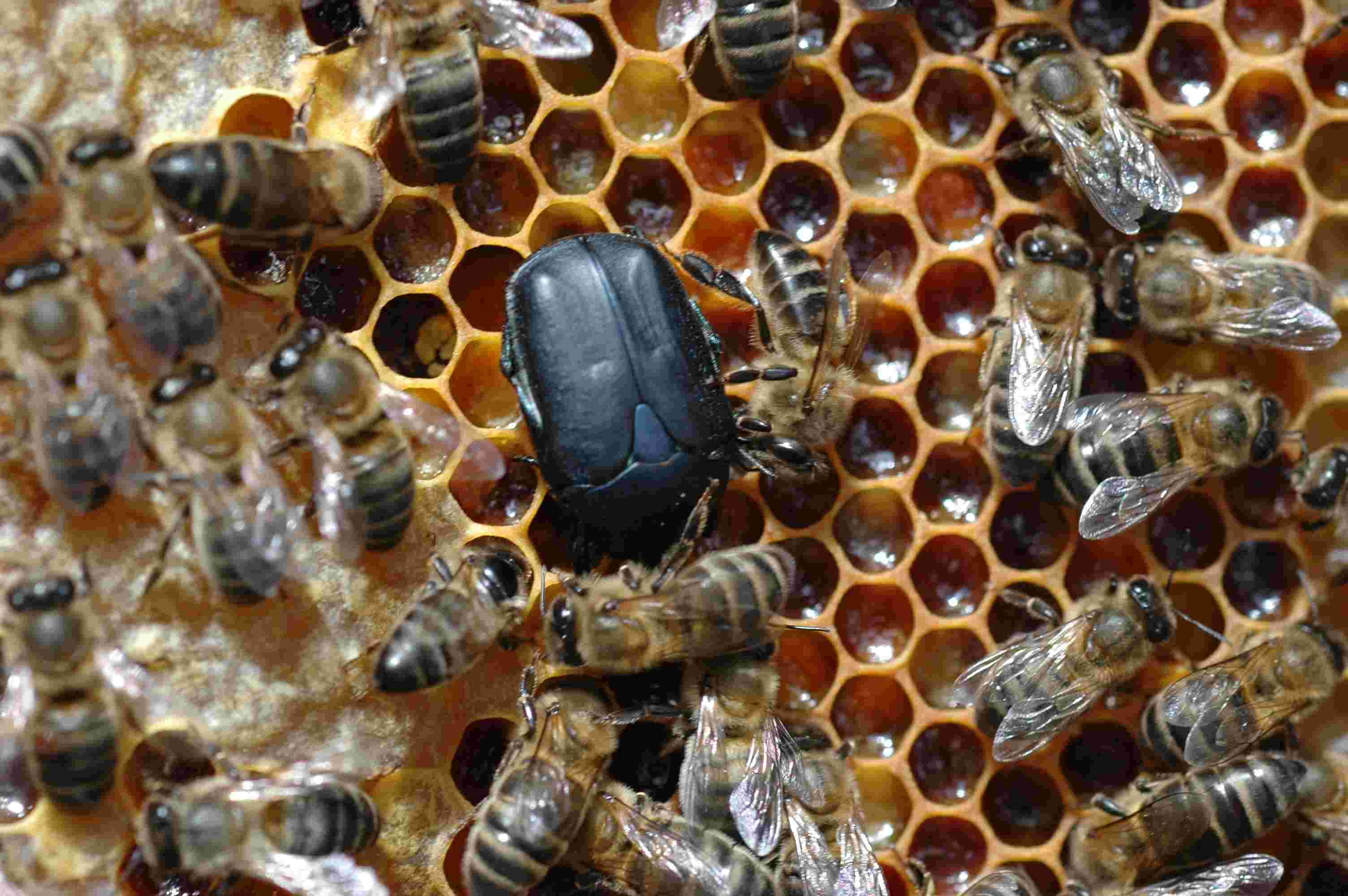 Patologia apicola