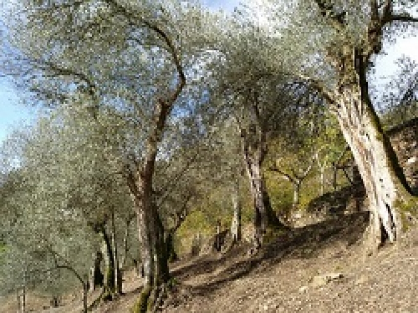 A scientific study characterizes two new Galician olive varieties for the first time