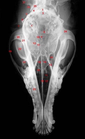 Anatomía radiográfica