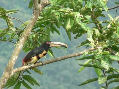 Un arasari piquipálido ('Pteroglossus erythropygius'), una especie de tucán que se puede encontrar en estos bosques ecuatorianos.