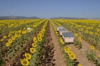 Uno de los campos de girasoles estudiados por los investigadores.