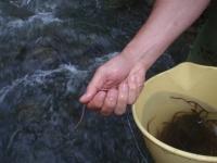 La Universidad de Córdoba contribuye a la recuperación de la anguila a través de un proyecto europeo