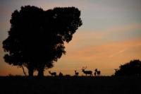 Ciervos en la Sierra de Hornachuelos