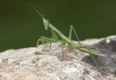 Tipo de mantis autóctona Apteromantis aptera,