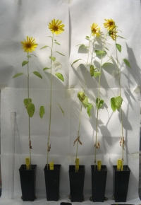 Plantas de girasol ('Helianthus annuus') en las que se ha probado los efectos del biocarbón en un invernadero experimental