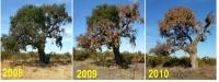 Evolución de un alcornoque ('Quercus suber') afectado por el microorganismo 'Phytophthora cinnamoni'.