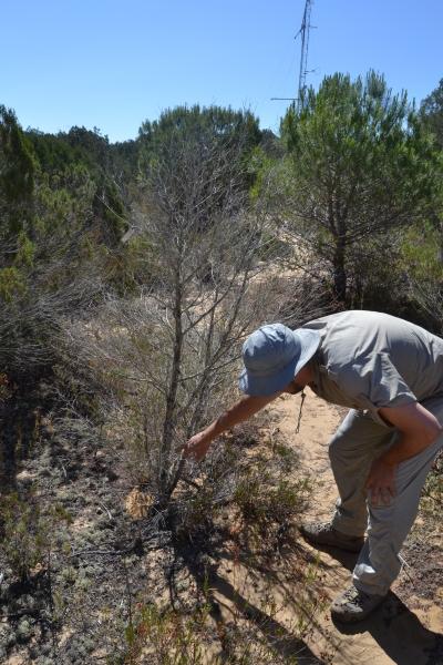 El investigador Ignacio Pérez Ramos, del Instituto de Recursos Naturales y Agrobiología de Sevilla (IRNAS), durante la recolecta de muestras