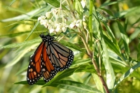 Un ejemplar de mariposa monarca