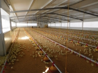Aspecto interior de la nave de pollos