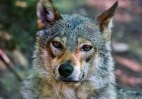 La conservación del lobo