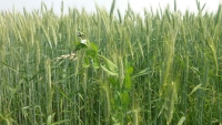 Campo de trigo diversificado con guisantes