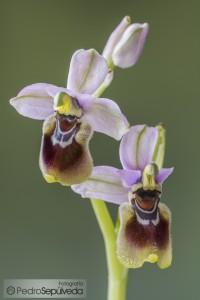 Ophrys tehthredinifera