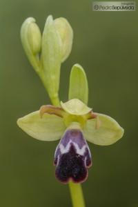 Ophrys algarvensis_PSM0597