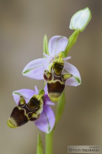 Ophrys picta_PSM0674