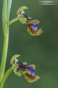 Ophrys vernixia_PSM0537