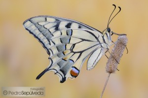 Papilio machaon_PSM7205