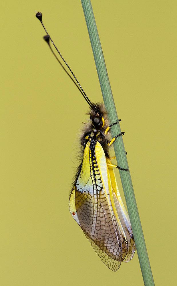Libelloides baeticus. ©Rafael Obregón Romero