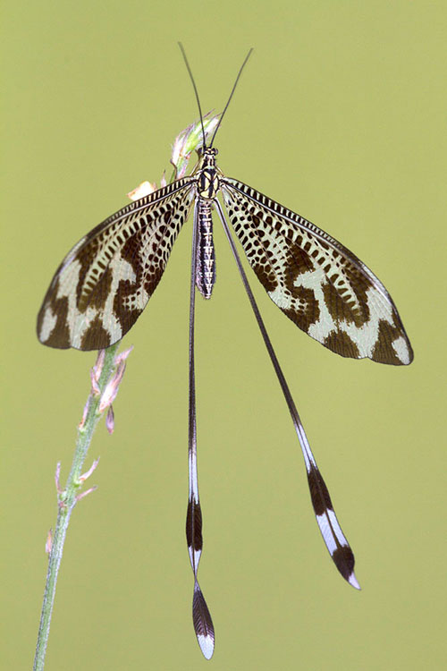 Nemoptera bipennis. ©Rafael Obregón Romero