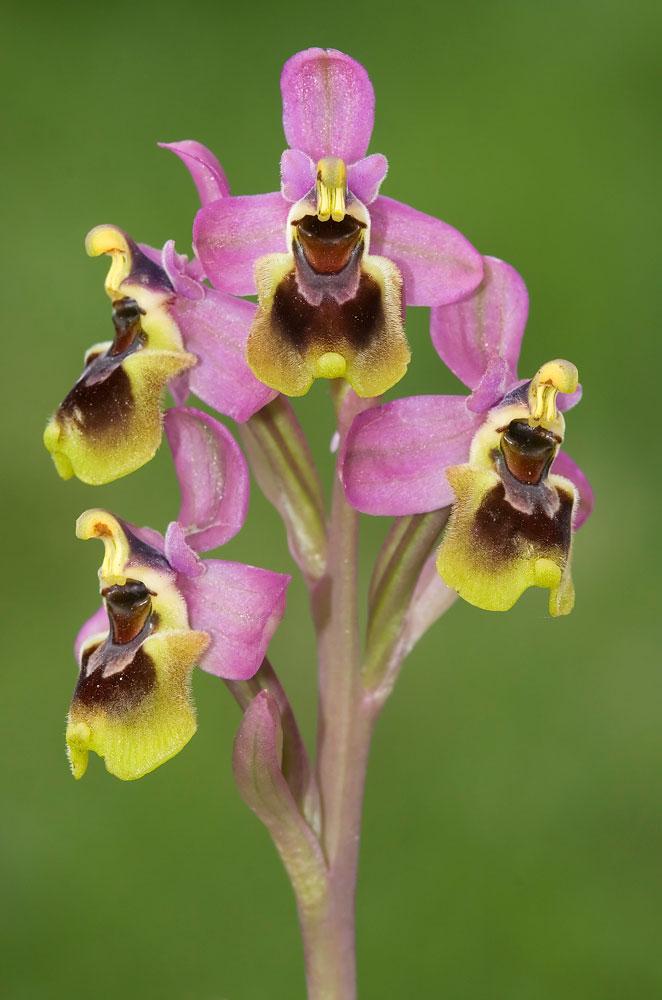 Ophrys tenthredinifera. ©Rafael Obregón Romero