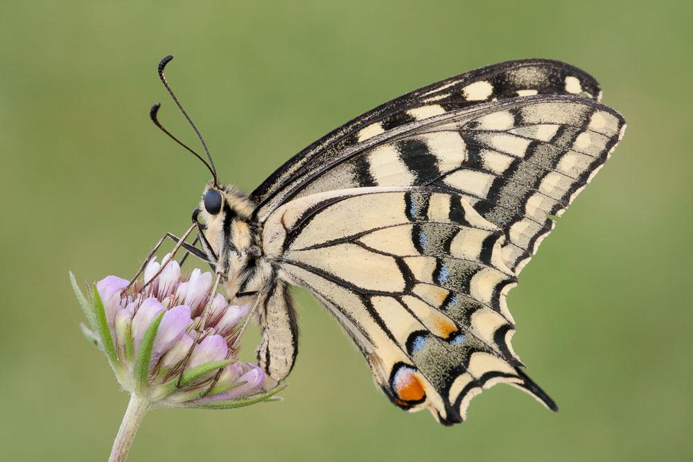 Papilio machaon. ©Rafael Obregón Romero