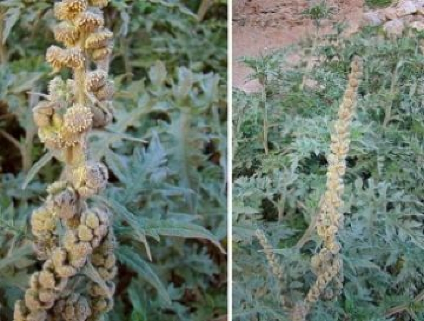 UCO SCIENCE. Two anti-cancer components found in Ambrosia arborescens