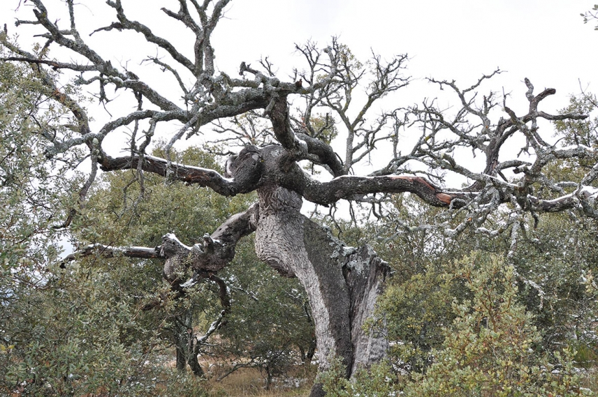 Drought determines Holm oak defense strategies