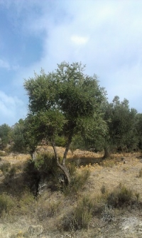 The wild olive genome accounts for high oleic acid concentrations in olives