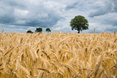 New biodegradable polyurethane foams are developed from wheat straw
