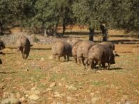 El estudio ha probado la ausencia de alelos procedentes de las razas Duroc y Large Black