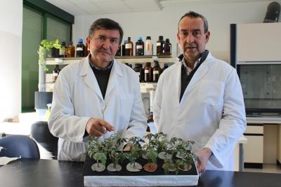 Los investigadores del Área de Fisiología Vegetal Javier Romera y Esteban Alcántara muestran ejemplares de tomate en los que se experimenta con nutrición férrica