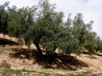 La verticillium amenaza desde hace años al olivar andaluz