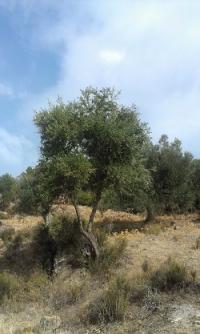 Imagen de un ejemplar de este olivo