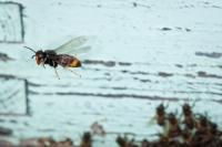 'Avispa asiática y abejas'. Accésit en la categoría General en Fociencia 2012.