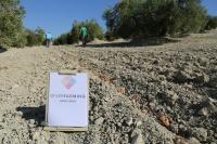 Siembra del azafrán entre las calles del olivar
