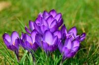 Fotografía de la flor del Azafrán
