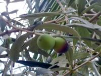 El estudio de la UCO ha probado el efecto de extracto de hoja de olivo en la mosca del vinagre