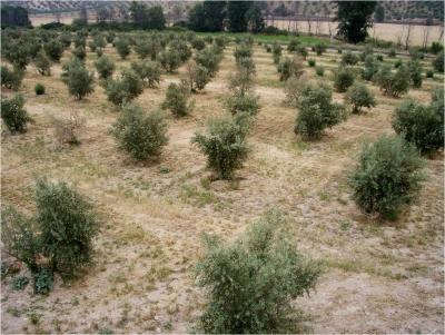 Un estudio desvela nuevos aspectos sobre la estrategia reproductiva del hongo causante de la verticilosis del olivo