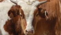 Vaca criolla