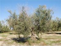 Olivo afectado por antracnosis