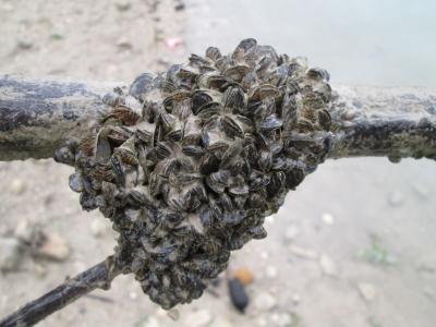Ejemplares de mejillón cebra agrupados como una colmena en Iznájar.
