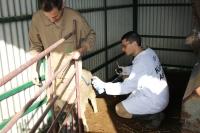 Científicos de la Facultad de Veterinaria de la Universidad de Córdoba identifican una oveja en la que observan la patogenia del gusano 'Fasciola hepatica'.