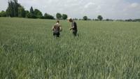 Socios italianos trabajando en los casos de estudios sembrados con trigo