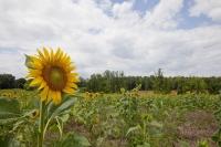 Campo de girasol, cultivo empleado para producir biodiésel