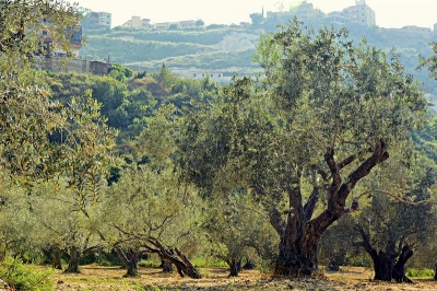 Verticillium wilt fungus killing millions of olive trees is actually an army of microorganisms